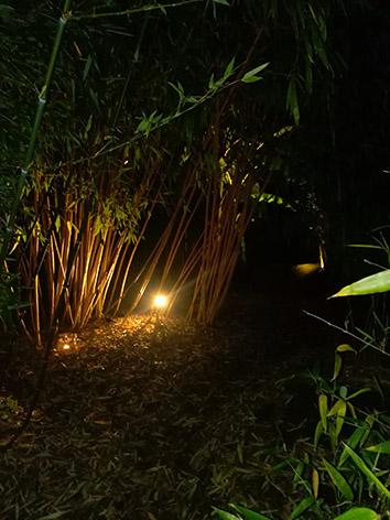 Lil'o bambous - ambiance nocturne - Phyllostachys vivax aureocaulis